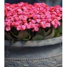 Kardeş Kanı Çiçeği Kan Kardeş Çiçeği İthal Kalanchoe 20 Cm