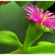 Buz Çiçeği Aptenia Cordifolia 45 Adet Fiyatımızdır