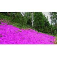 Acem Halısı Mesembryanthemum 45 Adet Fiyatıdır