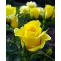 Yediveren Gül Fidanı Bahçe Gülü Sarı Renkli