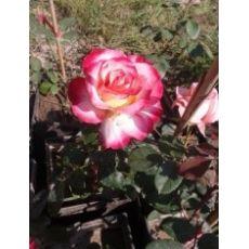 Yediveren Gül Fidanı Bahçe Gülü Pembe Beyaz Gül