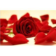 Yediveren Gül Fidanı Bahçe gülü Kırmızı Renkli