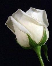 Yediveren Gül Bahçe gülü Beyaz Renkli