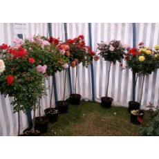 Baston Gül Standard Roses 120-150 Cm