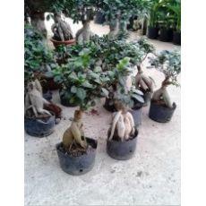 Ginseng Bonzai Bonsai İthal 20-30 Cm