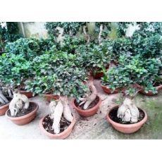 Ginseng Bonzai Bonsai İthal 35-40 Cm
