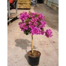 Begonvil Fidanı Çiçeği Tijli Bougainvillea Glabra 70-80 Cm