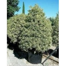 Çoban Püskülü İlex Veriagatum pyramidalis 175-200 Cm