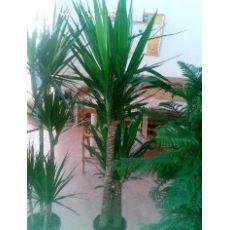 Yukka Bitkisi Yucca Massengena 3 lü Dikim 120-130 Cm