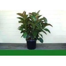Kauçuk Bitkisi Ficus Elastica 80 Cm
