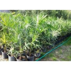 Tüysüz Palmiye Şamarobs Washington Filifera 100 Cm