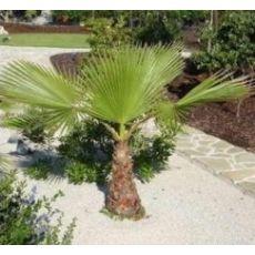 Tüysüz Palmiye Şamarobs Washington Filifera 60 Cm