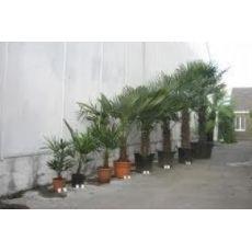 Tüylü Palmiye Chamaerops Excelsa 60-70 Cm