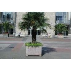 Tüylü Palmiye Chamaerops Excelsa 120-140 Cm