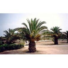 Fenix palmiye yalancı hurma Palmiyesi Phoenix Canariensis 40 Cm Gövde boyu