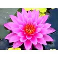Yıldız Çiçeği Dahlia Kasada 45 Adet Fiyatımızdır
