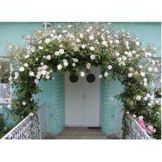 Sarmaşık Ponpon Gül Küçük Goncalı Gül Beyaz Çiçekli