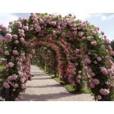 Sarmaşık Ponpon Gül Küçük Goncalı Gül pembe çiçekli 120-140 Cm