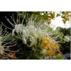 Hanımeli Sarmaşığı Fidanı Lonicera canadensis 80-100 Cm