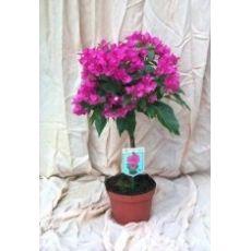 Begonvil Fidanı Çiçeği Tijli Bougainvillea 40-50 Cm