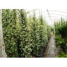Arap Yasemini Çiçeği jasminum Officinale Grandiflorum 300-325 Cm