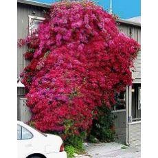 Begonvil Fidanı Gelin Duvağı Çiçeği