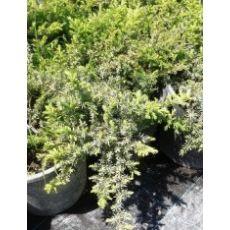 Yayılıcı Ardıç Juniperus 3 lü Dikim