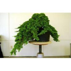 Sürünücü Ardıc İbuki Ardıcı Bodur Juniperus Procumbens Nana 20-30 Cm Çapı