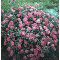 Japon İspiryası Spiraea japonica Crispa