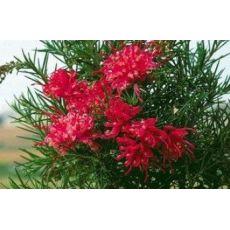 Gravilla Açık Pembe Çiçekli Gravillea Juniperina 30-40 Cm