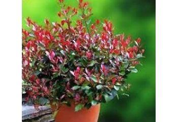 Bodur Alev Ağacı Çalısı Photinia Fraseri Little Red Robin Nana 20 25 Cm Çapı