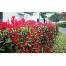 Bodur Alev Ağacı Çalısı Photinia Fraseri Little Red Robin Nana 45 Adet Fiyatıdır