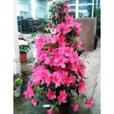 Açelya Çiçeği İthal Dış Mekan Piramidal Azelea Japonica