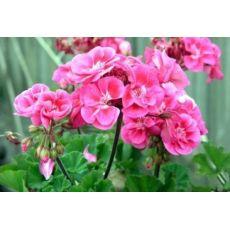 Top Sardunya Dik Sardunya Çiçeği