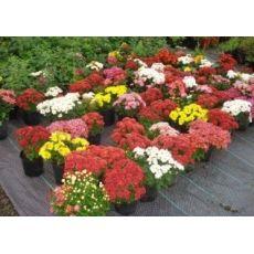 Kasımpatı Krizantem Çiçeği Chrysanthemum Krizantem