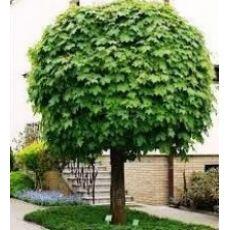 Çınar Yapraklı Akçaağaç Acer Platanoides 10-12 Cm Gövde Çapı