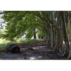 Çınar Ağacı Platanus Occidentalis 16-18 Cm Çapında