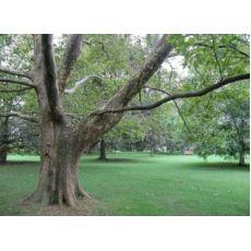 Çınar Ağacı Platanus Occidentalis 12-14 Cm Çapında