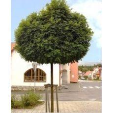 Top Akasya Ağacı Fidanı Robinia Pseudoacacia Umbraculifera