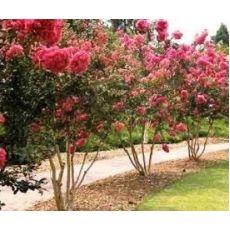 Oya Fidanı Ağacı Çalı Formlu Lagerstromia İndica 60-80 cm
