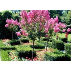 Oya Fidanı Ağacı Lagerstromia İndica 6-8 Cm çap 130-150 cm