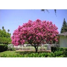 Oya Fidanı Ağacı Lagerstromia İndica 8-10 çap 200-220 cm