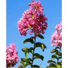 Oya Ağacı Fidanı Lagerstromia İndica 10-12 çap 130-150 cm