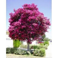 Oya Fidanı Ağacı Lagerstromia İndica 30-40 Cm