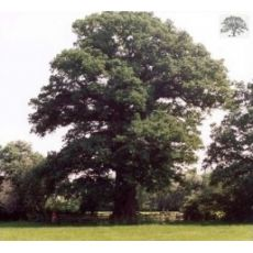 Lareks Ağacı Larex Fidanı