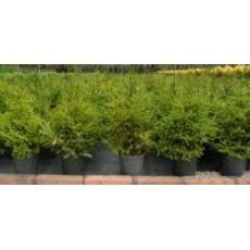 Batı Ladini Picea Abies 90-110 Cm