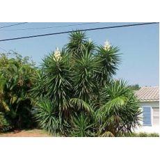 Avize Çiçeği Jucca Yukka Filamentosa