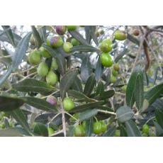 Zeytin Fidanı Gemlik 60-80 Cm