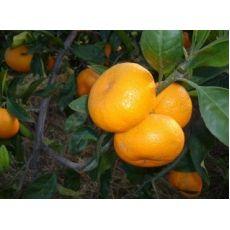 Mandalina Fidanı Meyve verir durumda 140-160 Cm