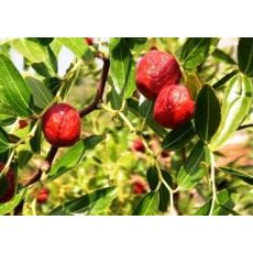 Hünnap Fidanı Meyveli Ziziphus Zizyphus 80-100 Cm